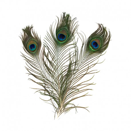 Real Peacock Feathers (3 Pack)