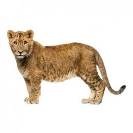 Thermocollant grand format Joli fauve - lion debout